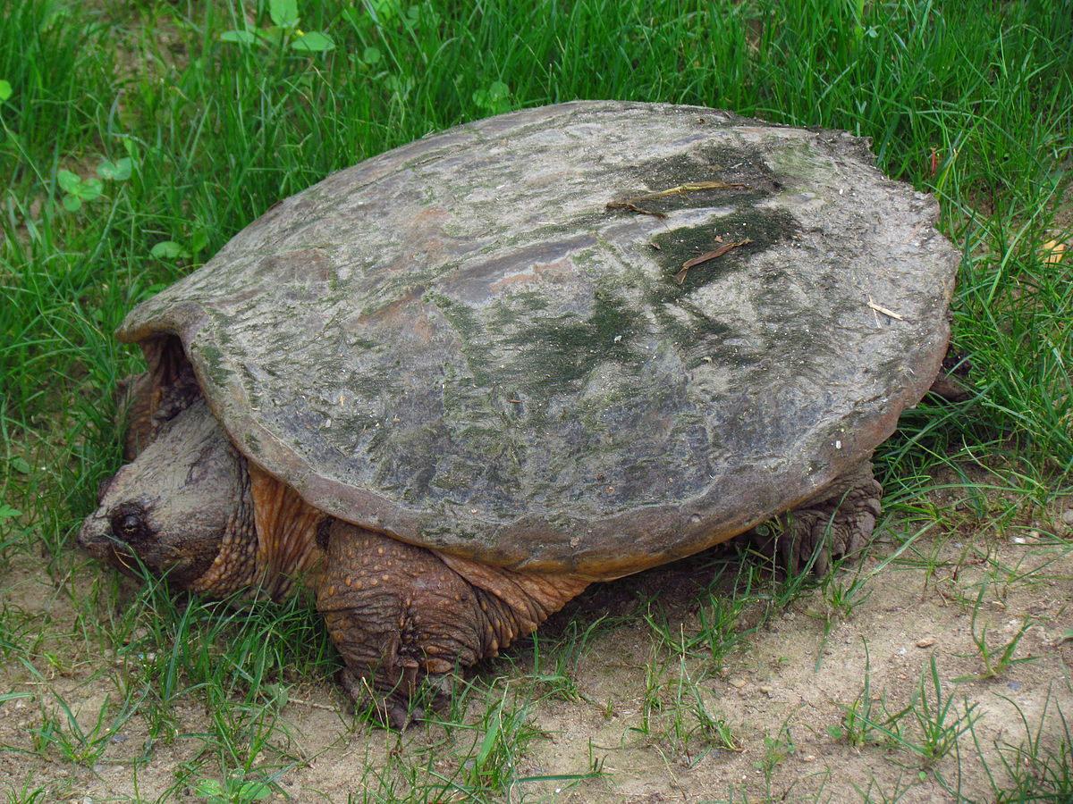 common snapping turtle wikipedia