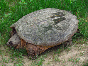 Common snapping turtle - Female searching for nest site