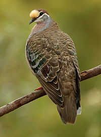 Common bronzewing kobble05.JPG