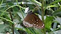 Common crow butterfly (Euploea core) at Vizag.JPG