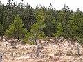Coniferous forest below Glinsk - geograph.org.uk - 1854770.jpg
