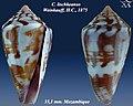 Conus lischkeanus 2.jpg