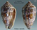 Conus victoriae 3.jpg
