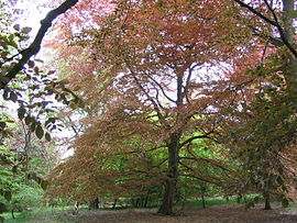 Copper-beeches-savernake-2005-05-18.JPG
