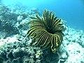 Coral Bulu ayam.jpg