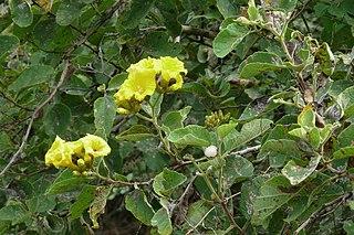 <i>Cordia lutea</i> Species of plant