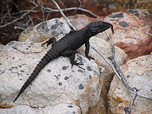 Cordylus niger - Black Girdled Lizard with millipede on its nose.JPG