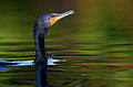 Cormorant-venice-3.jpg