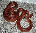 Corn Snake large gravid female (without watermark).jpg