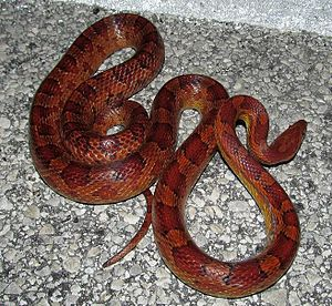 Corn snake - Gravid female