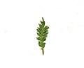Coronopus didymum leaf (09).jpg