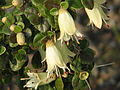 Correa reflexa nummulariifolia (13464505023).jpg