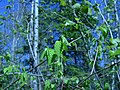 Corylus cornuta, Sault Ste Marie 1.JPG