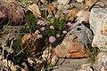 Corymbium scabridum Rebelo 3.jpg
