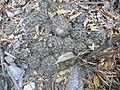 Coryphantha nickelsiae (5661766087).jpg