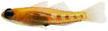 Coryphopterus personatus - pone.0010676.g167.png