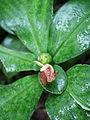 Costus malortieanus (top).jpg