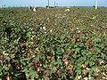 Cotton field ferghana.JPG