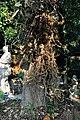 Couroupita guianensis - Murshidabad 2014-11-11 8908.JPG