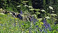 Cow Parsnip, Lupine and Oregon Sunshine-Gifford Pinchot (26780804295).jpg