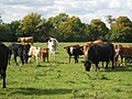 Cows near Biddenden, Kent - geograph.org.uk - 989965.jpg