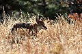 Coyote (5500614922).jpg