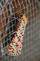 Crimson-speckled Footman (Utetheisa pulchella) (16484661649).jpg