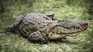 Croc ready to move (16453555714).jpg