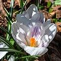 Crocus Flower 3219.jpg