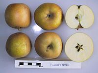 Cross section of Parker's Pippin, National Fruit Collection (acc. 1963-035).jpg
