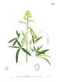 Crotalaria quinquefolia Blanco1.159.png