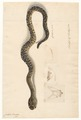 Crotalus horridus - 1800-1839 - Print - Iconographia Zoologica - Special Collections University of Amsterdam - UBA01 IZAA100155.tif