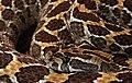 Crotalus polystictus Mexikanische Lanzenkopf-Klapperschlange.jpg