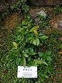 Croton hancei.jpg