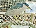Crowned Night-Heron. - Héron à couronne - panoramio.jpg