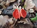 Crvena čašica-Sarcoscypha coccinea.jpg