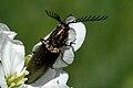 Ctenicera.pectinicornis.-.lindsey.jpg