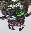 Ctenicera pectinicornis head.JPG