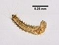Ctenocephalides felis (YPM IZ 099582) 004.jpeg