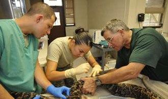 Toledo Zoo - Image: Cuban Boa gets chipped at Guantanamo