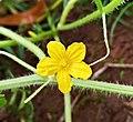 Cucumis anguria flower.jpg