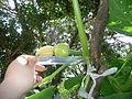 "Cucurbita maxima ""zapallo plomo"" (Costanzi temp2) flor femenina F03 dia02 regla.JPG"