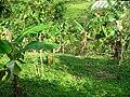 Cultivos de Banano.JPG