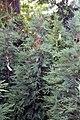 Cupressocyparis Emerald Isle 0zz.jpg