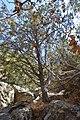 Cupressus nevadensis Hobo Ridge Grove (21) - Flickr - theforestprimeval.jpg