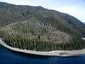 Cupressus nootkatensis aerial view of damage.jpg