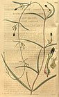 Curtis's botanical magazine (Plate 3300) (8203240872).jpg