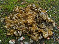 Cyanobacteria - Nostoc commune - geograph.org.uk - 1470398.jpg