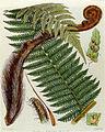 Cyathea smithii.jpg