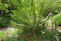Cycad (Encephalartos sp.) (16394008468).jpg